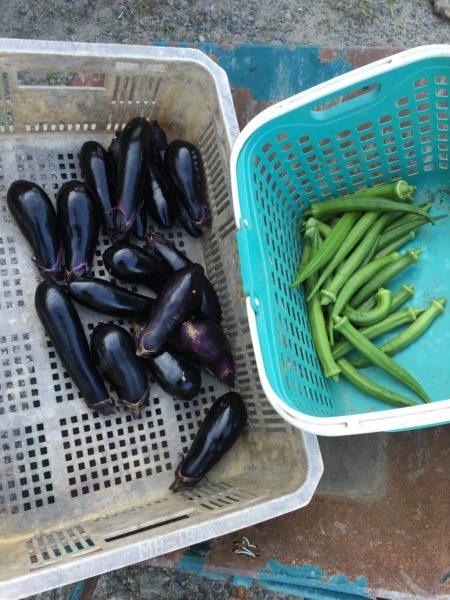 私が今日とった野菜たち